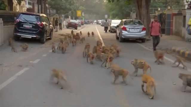 五千猴子占领新德里,还爬上总统府