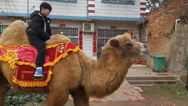 七旬老汉牵骆驼拍照赚钱:年入十万