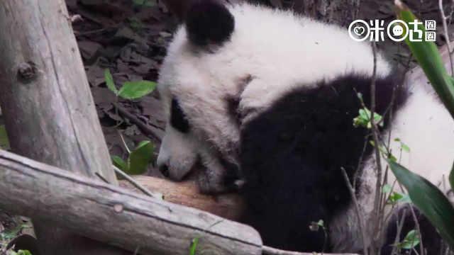 """熊猫大战""""树枝怪"""",超凶的!"""