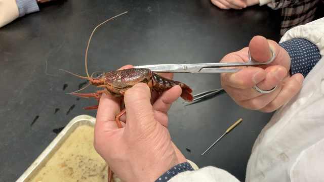 高校设龙虾解剖课,老师:为更好吃虾