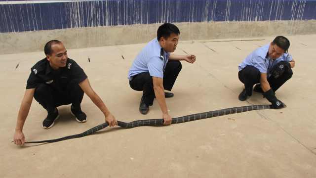 3米眼镜王蛇想搭车,偷钻小车座椅