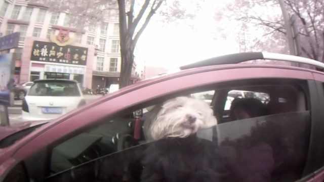 女子抱狗开车被查求饶:我狗生病了