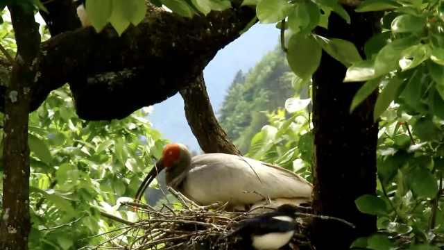 现实版鹊占鹮巢!朱鹮妈妈勇猛护巢