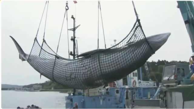 日本重启商业捕鲸,捕鲸船已备好