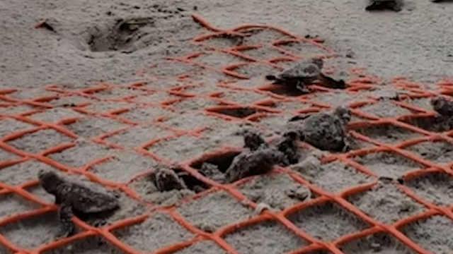 一百多只小海龟出生,成群爬向大海