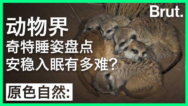 动物界奇特睡姿盘点:安睡有多难?