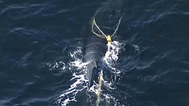 座头鲸被网缠住,游数百英里后获救