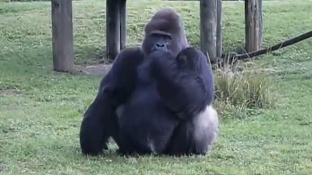 大猩猩做手势说不能吃人们喂的食物
