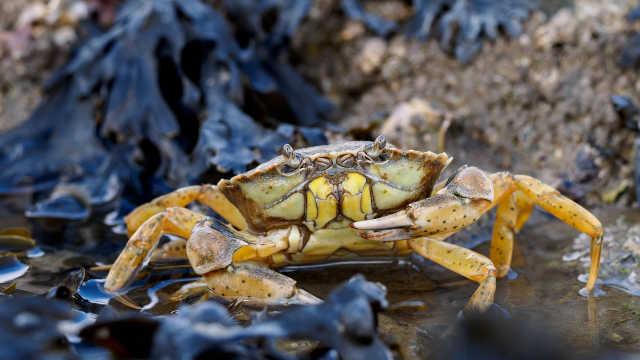 泰晤士河螃蟹胃里塞满卫生巾塑料
