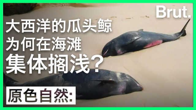 大西洋的瓜头鲸为何在海滩集体搁浅