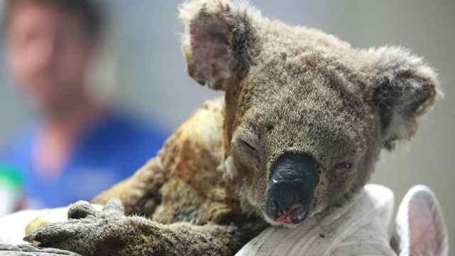 澳超2万只考拉在袋鼠岛大火中死亡