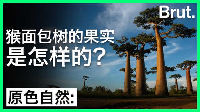 猴面包树的果实是怎样的?