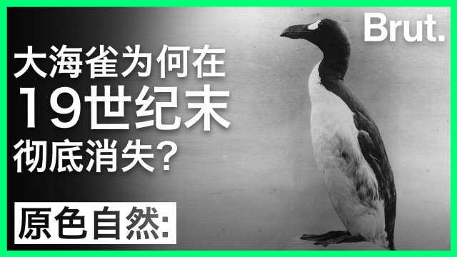 大海雀为何在19世纪末彻底消失?