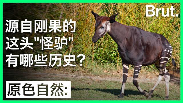 """源自刚果的这头""""怪驴""""有何历史?"""