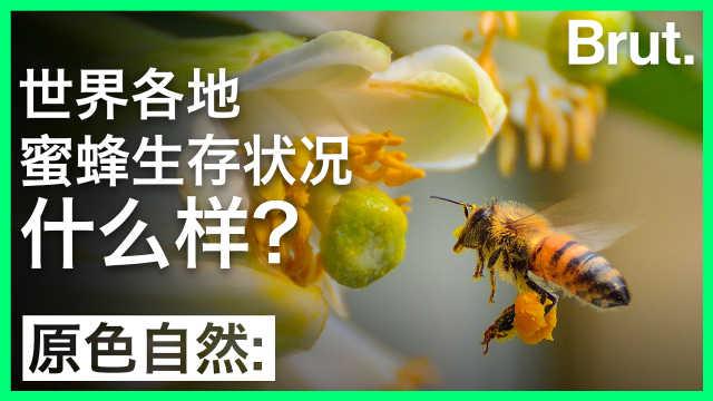 世界各地蜜蜂生存状况什么样?