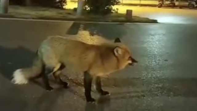 武大网红狐狸下山觅食,空旷的校园里与守樱人亲切互动