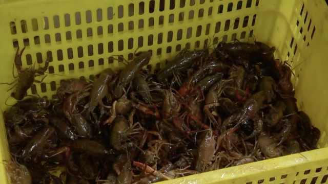 湖北潜江小龙虾市场复工:销量逐步提升,收购价每天涨2到3元