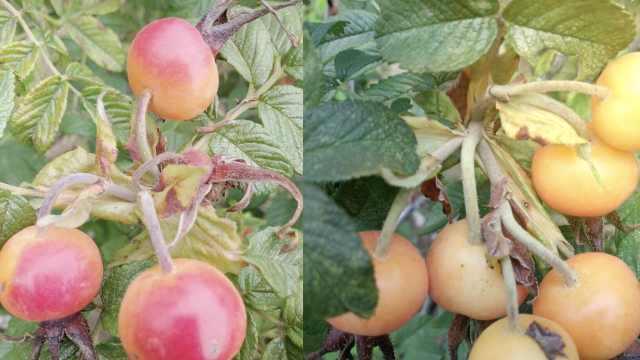 相信爱情吧!玫瑰能结果了:样子像樱桃,果肉能做饮料
