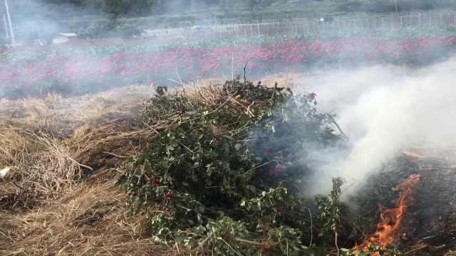 丽江一村庄日产2吨玫瑰卖不出,有花农焚花改种玉米