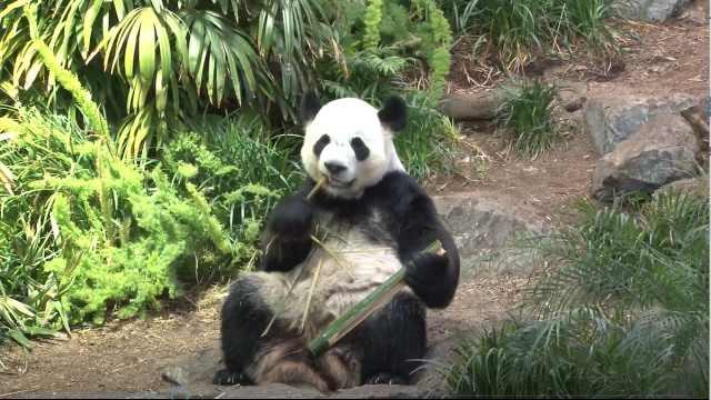 """中国旅加大熊猫因疫情面临""""断粮"""":竹子只够吃到9月"""