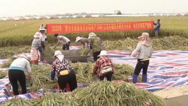 袁隆平超级杂交水稻云南测产,连续四年亩产超1100公斤