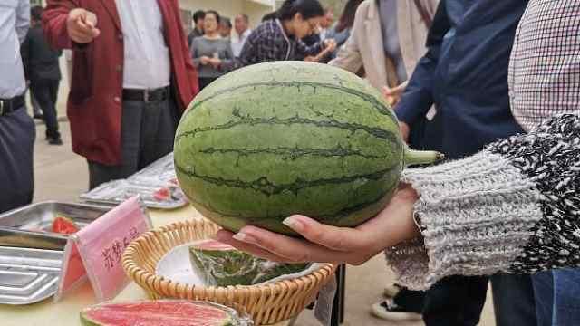 长在空中,手掌大 ,削皮吃……这样的西瓜你想吃吗?
