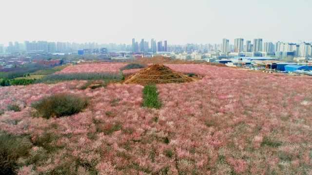 古墓美成打卡地!西安600年古墓周围280亩山桃花盛开