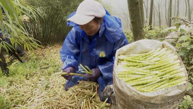 你家竹笋宴在路上!中国筇竹之乡开采,2千村民