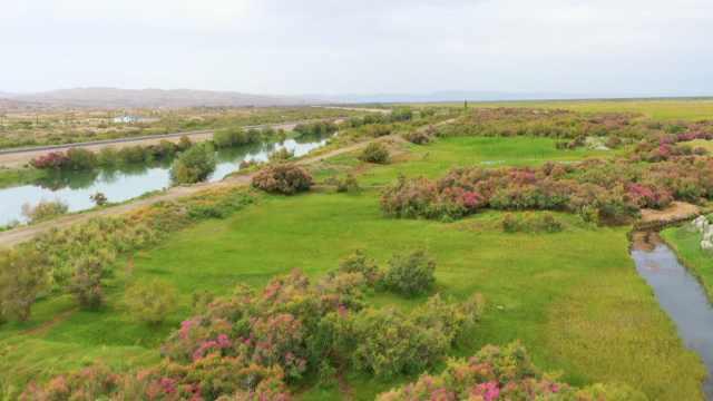 一片荒漠一片绿洲!新疆博斯腾湖畔百余公里红柳花绽放