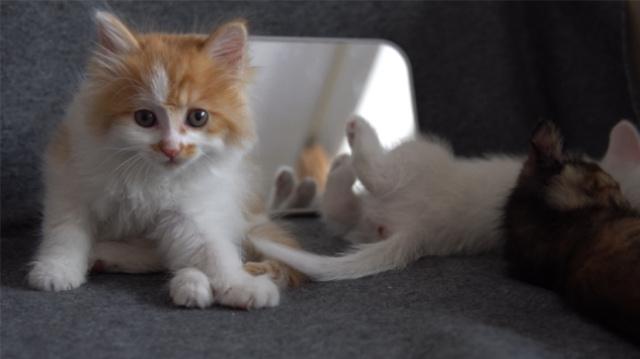 猫照镜子,能不能认出自己?
