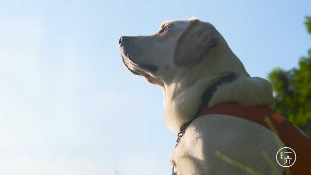 导盲犬的使命
