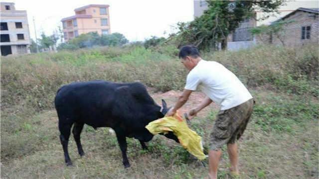农村杀牛,为什么要蒙住牛的眼睛?