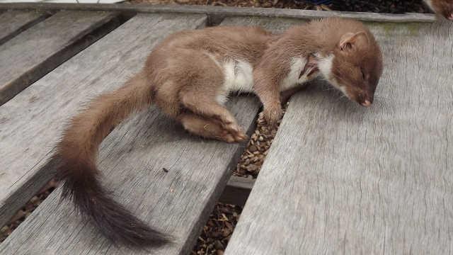 为什么人忌讳捕杀黄鼠狼?