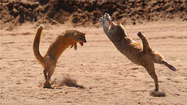 猫咪和黄鼠狼打架,到底谁更厉害?