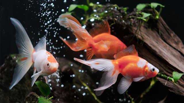 金鱼的记忆真的只有7秒吗?