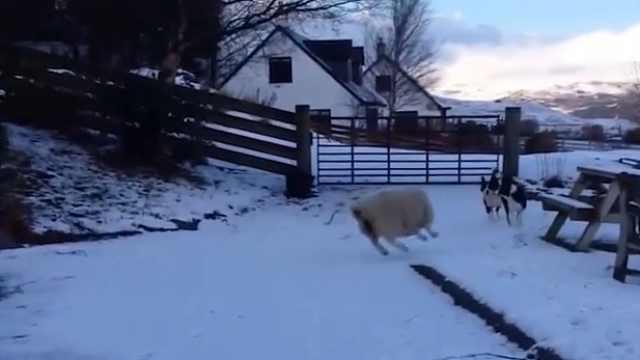 绵羊混迹狗堆中,以为自己是只汪