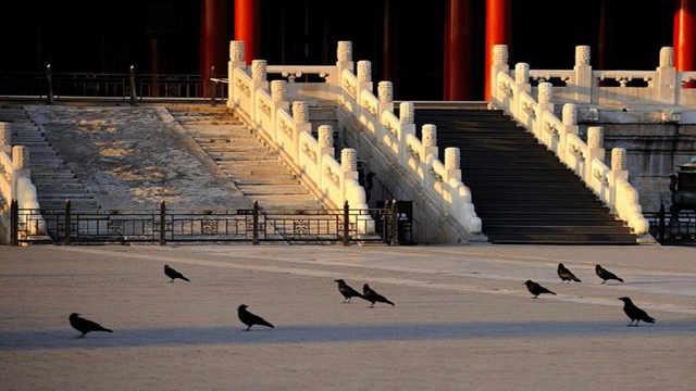 为什么故宫有这么多乌鸦?