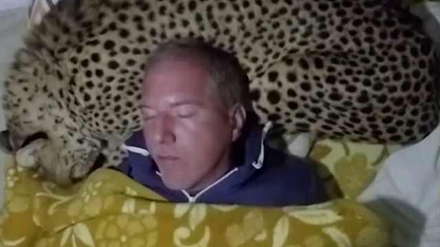 猎豹给小哥当枕头,边睡边打呼噜