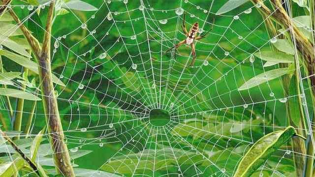 蜘蛛会不会被自己的网黏住?