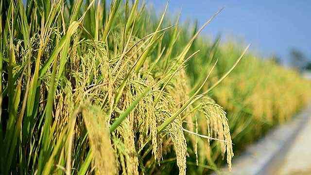 海水稻:农业荒漠结硕果