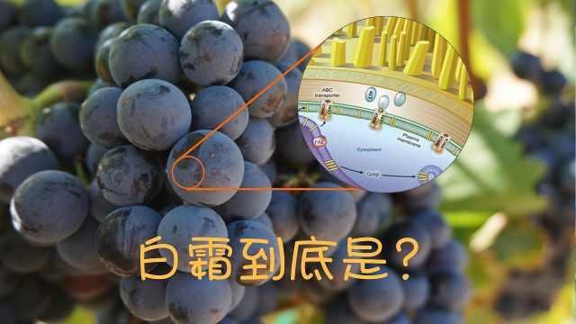 葡萄表面的白霜到底是什么?