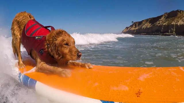"""这是狗狗冲浪世界杯,来""""浪""""一下"""