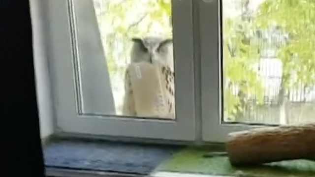 神奇!猫头鹰落窗台,嘴里还叼着信