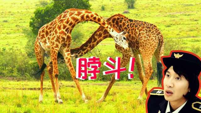 蠢萌的长颈鹿呕吐是什么感觉?
