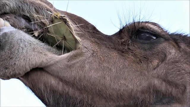 仙人掌全身是刺,骆驼还能一口吞?