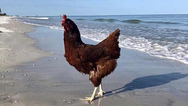 一只爱游泳的母鸡?被主人带着旅游