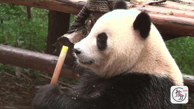 憨态可掬的熊猫,太可爱了