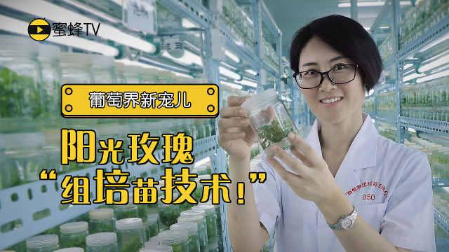 力荐! 阳光玫瑰最新培苗技术曝光!