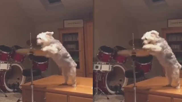 赶紧让一让!摇滚狗狗音乐家来了