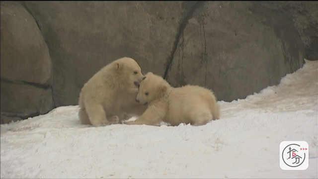 北极熊宝宝爱打架,舞动爪子太可爱